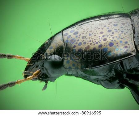 Amur Beetle - stock photo