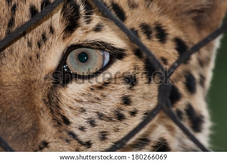 Amur Leopard looking through a fence ata zoo - stock photo