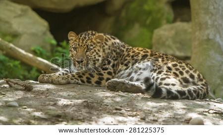 amur leopard, (Panthera pardus orientalis) - stock photo