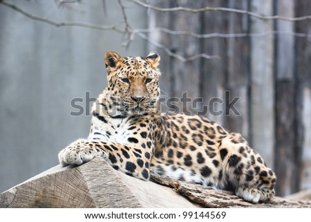 Amur leopard (Panthera pardus orientalis) - stock photo