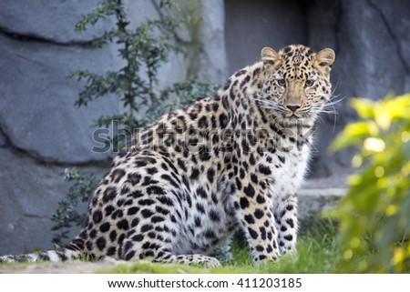 Amur Leopard, Panthera pardus orientalis, is probably the most beautifully colored leopard