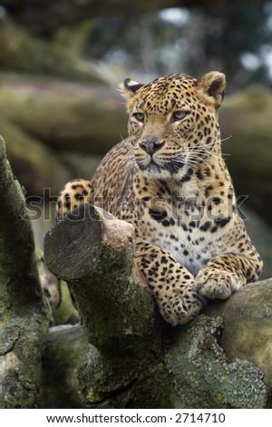 Amur Leopard (panthera pardus orientalis) looking to left of frame - portrait orientation - stock photo