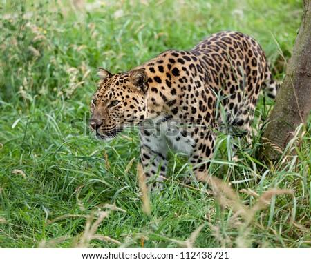 Amur Leopard Prowling through Long Grass Panthera Pardus Orientalis - stock photo