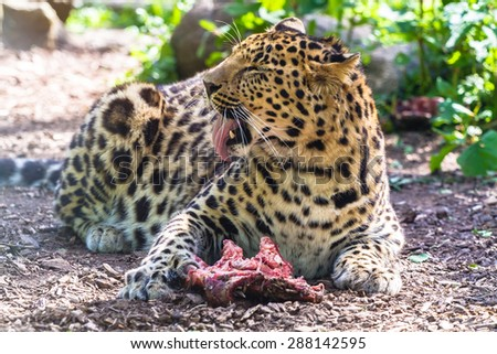 Amur leopard with meat yawning - stock photo