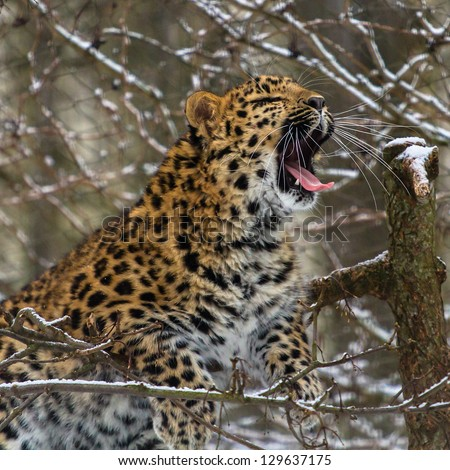 Amur leopard yawning on the tree - stock photo