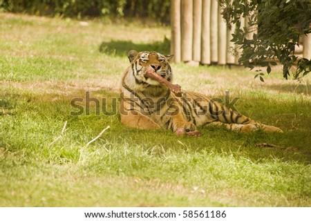 Amur Siberian Tiger in captivity - stock photo