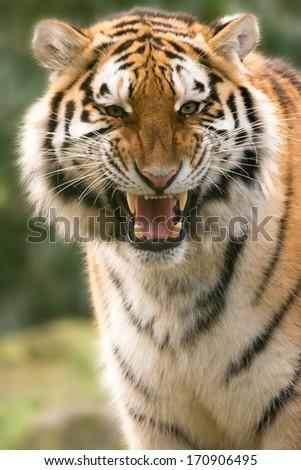 Amur (siberian) Tiger scenting - stock photo