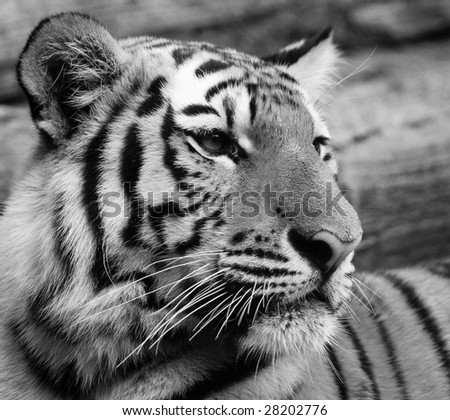 Amur Tiger in Black and White