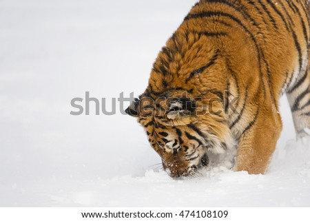 Amur tiger is eating his hunt. He is attacking for prey. He is attacking for prey. Amur tiger has stripes and a shade of orange in color.