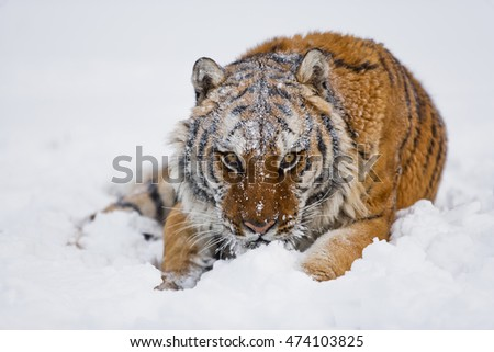 Amur tiger is looking to the camera while sitting. Half of his body and face can seen clearly. He arose feeling power. Face of amur tiger with the close view.