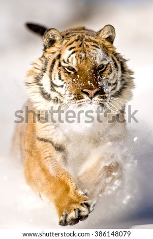 Amur tiger is running and snowflakes are hitting his face.His right paw, his face and ears can seen clearly.The amur tiger looking forward. Has a powerful emotion.Background is snow white and blurred - stock photo