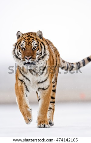 Amur tiger is running with focus on target. Amur tiger is attacking for prey.His coat is flying with wind. Moment of the Amur tiger running. Amur tiger is running