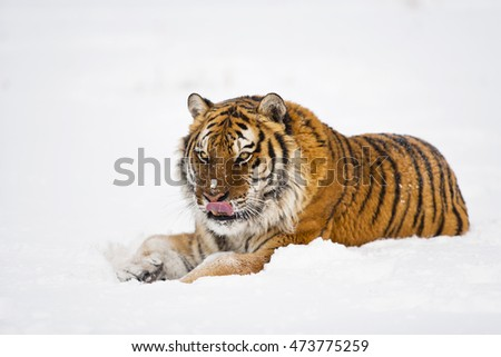 Amur tiger is sitting on icy floor. There are snowflakes on his body. He arose feeling of strength. Amur tiger is licking himself. Portrait of Amur tiger.