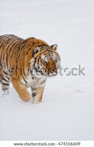 Amur tiger is walking angrily. Amur tiger is walking on ice and snow proudly. Hearose feeling of strength. He has a huge body.