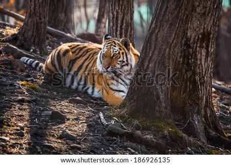 Amur tiger lying near the tree in zoo - stock photo