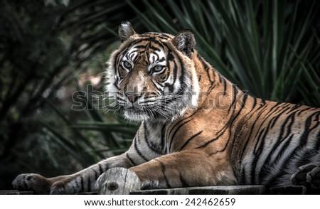 Amur tiger lying on a platform of planks - stock photo