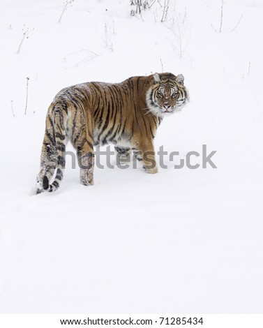 Amur Tiger on white snow during cold winter - stock photo