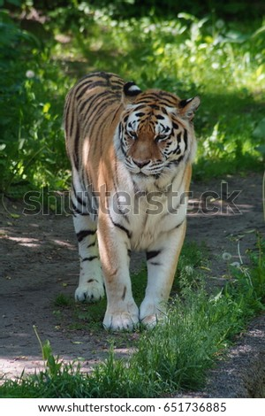 Amur tiger Panthera tigris altaica - It is the largest living cat now. Inhabits mountainous coniferous and mixed woods on the border of Russia, China and Korea