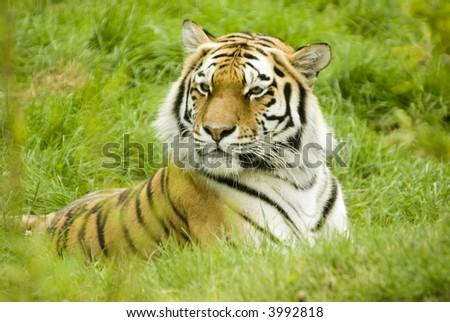Amur Tiger (Panthera tigris altaica) - landscape orientation - stock photo