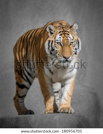Amur tiger (Panthera tigris altaica) prowling - stock photo