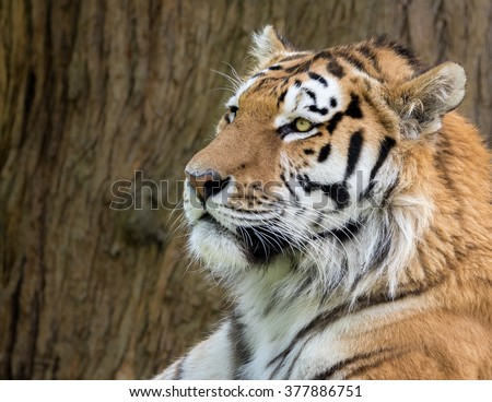 Amur Tiger, Panthera tigris ataxic. Profile head shot with brown bark in background.