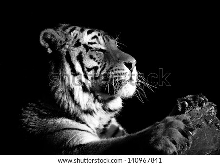 Amur Tiger Paws - stock photo