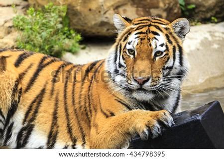 Amur tiger playing at zoo. - stock photo
