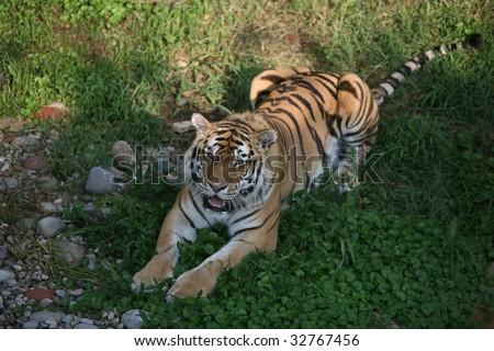 Amur tiger resting - stock photo