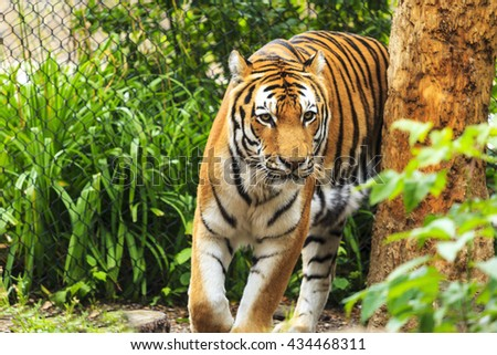 Amur tiger resting at zoo. - stock photo