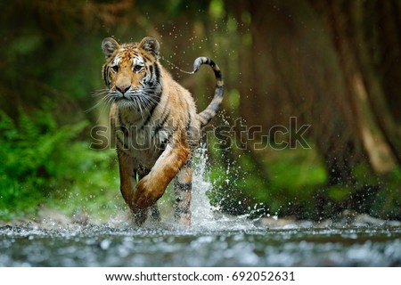 Amur tiger running in water. Danger animal, tajga, Russia. Animal in forest stream. Grey Stone, river droplet. Siberian tiger splash river water. Tiger action wildlife scene, wild cat, nature habitat.
