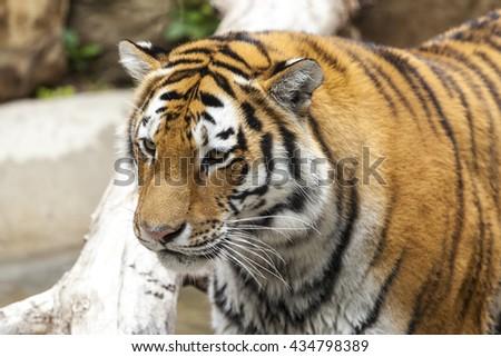 Amur tiger walking at zoo. - stock photo