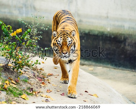 Amur Tigers - stock photo