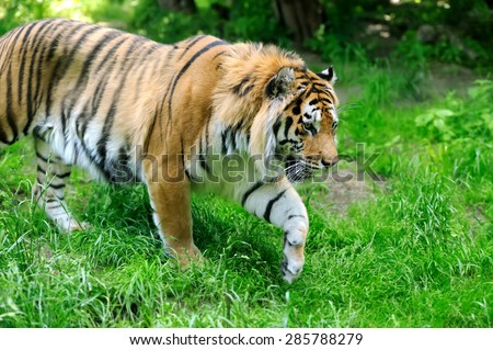 Amur Tigers on a geass in summer day