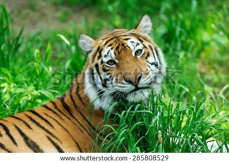 Amur Tigers on a geass in summer day - stock photo