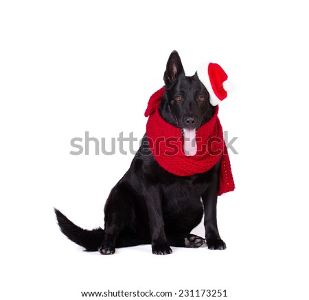 amusing black german shepherd in red wool muffler and santa hat isolated on white background - stock photo