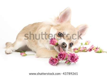 amusing chihuahua puppy with roses - stock photo