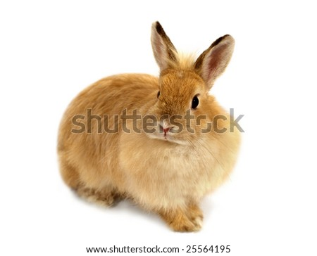 Amusing ginger rabbit with a ridiculous hair style. Rabbit in front of a white background. Selective focus.
