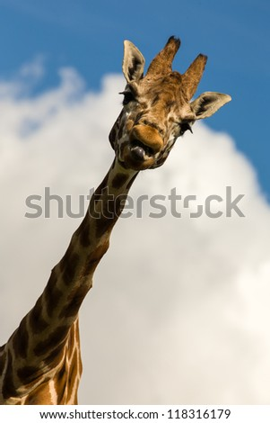 Amusing head and shoulders image of a Giraffe sticking its tongue out - stock photo