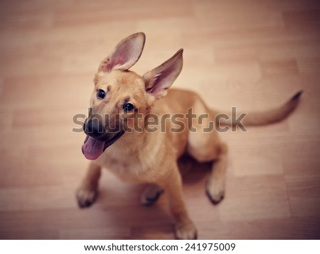 Amusing not purebred puppy. Mongrel puppy. Puppy of beige color. - stock photo