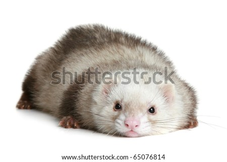 Amusing polecat lies on a white background - stock photo