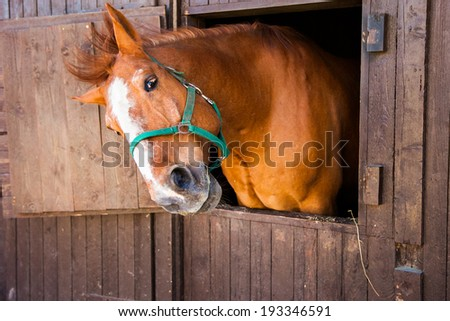 amusing red horse in  wooden stall on farm - stock photo