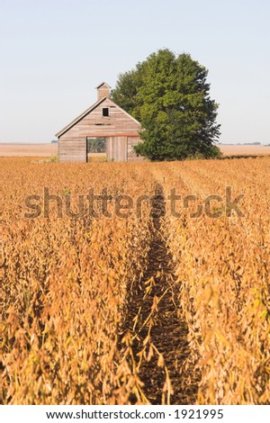 An abandoned barn in a soybean field during harvest time. - stock photo
