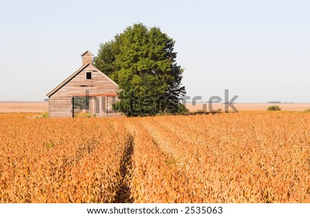 An abandoned barn in a soybean field during harvest time - landscape format - stock photo