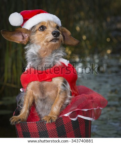 An absolutely, adorable small Mixed Breed Dog wearing a Santa suite and hat while standing in a festive basket.  Dog is looking up to the side towards the sky. - stock photo