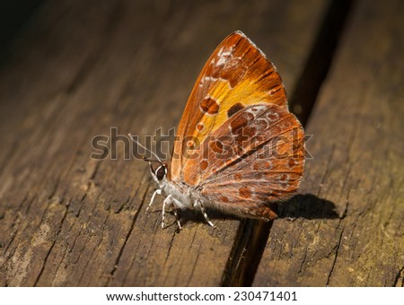 An absolutely stunning small butterfly, the Harvester, rests nicely on the railing of a boardwalk through a Wisconsin wetland. - stock photo