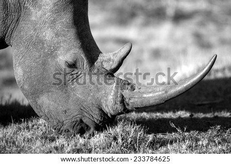 An abstract back light image of a rhinoceros face and horn. - stock photo