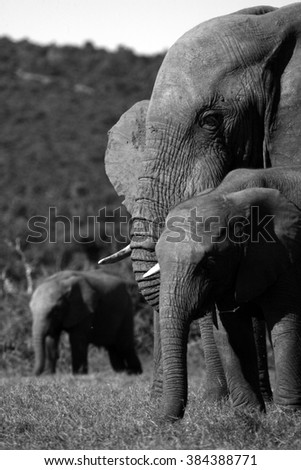 An abstract black and white photo of a herd / group of African elephants of all ages and sizes feeding in an open grass field in South Africa - stock photo