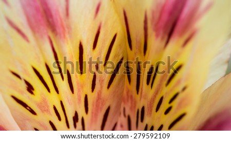 An abstract floral macro of a Peruvian lily. - stock photo