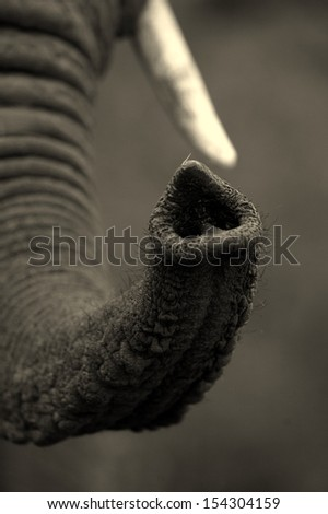 An abstract image of an elephants trunk in black and white. - stock photo