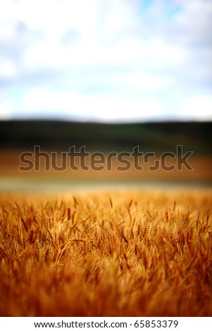 An abstract image of field of wheat and barley on a rural farm.